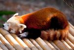 Red Panda by deseonocturno