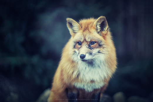 Red fox by hispanhun