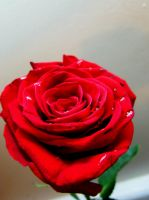 Red Rose with Droplets VIII by Sakura-Koi