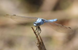 Dassia dragonfly August 2014 5 3 by melrissbrook