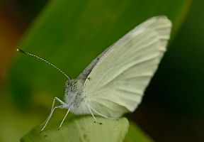 Cabbage White by jmarie1210