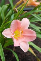 Pink Lily by frisbystock