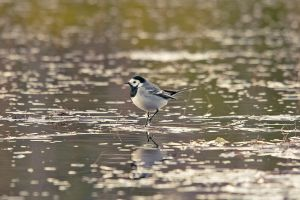 White Wagtail by komedian