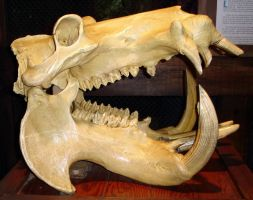 Skull 6 Hippos by WDWParksGal-Stock