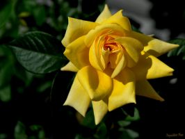 Yellow Rose by ToysoldierThor