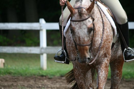 Appaloosa 72 by FantasyDesignStock