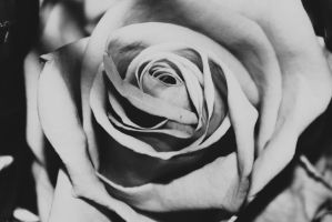Grey Rose by Shadoisk