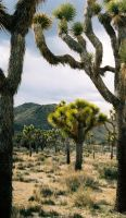 Joshua Tree by TnKArts
