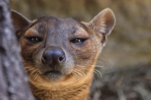 Smirking Fossa by robbobert