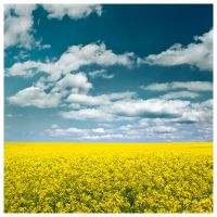 yellow field by rattattart