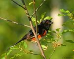 Eastern Towhee by natureguy