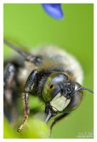 Bee Close-up II by eccoarts