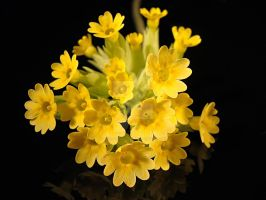 Cowslip close-up by melnaapantera