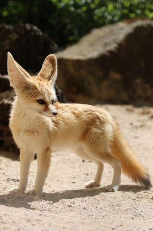 Fennec Stock 13 by Malleni-Stock
