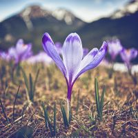 Crocus by RafalBigda