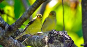 Female Goldfinches by Momenti-Photo