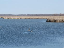 Geese, Perch River by Lectrichead