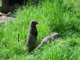 Banded Mongoose by JollyStock