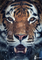 Tiger Face by Fotostyle-Schindler