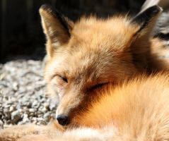 Sleeping Fox by Jack-13