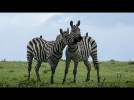 Stripes and kisses from Africa by Squirrel-slayer