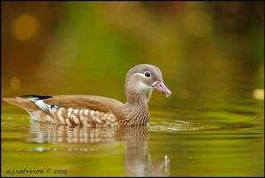 Female Mandarin. by andy-j-s