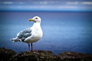 Seagull @ the Oregon Coast by melissaearl