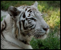 Shilang, the white tiger by morho