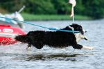 Water rescue bordercollie by blackmaster111