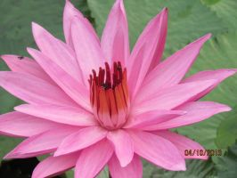 Waterlily by Quillnote