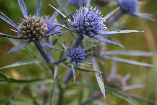 Blue Thistle by darkguitar3000