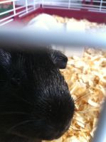 jack,my guinea pig 1 by invaderstitch2000