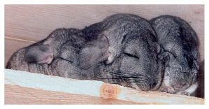 Zzzzzzzz Sleepy Chinchilla by Villa-Chinchilla