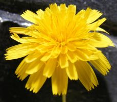 Small Yellow Flower by Gracies-Stock