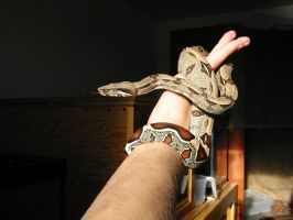 Red-tail Boa constrictor by poisonous