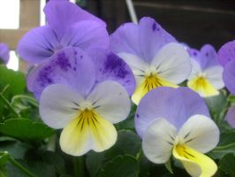 tufted pansy by ingeline-art
