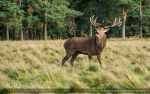 The Stag 187-15j by mym8rick