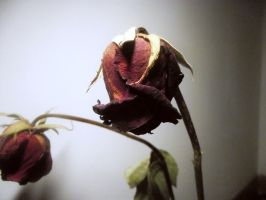 Dead roses by Alicss