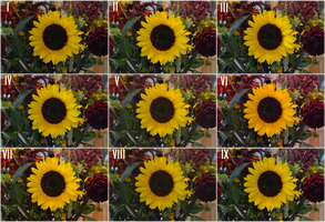 Sunflower (With Filters) by Singing-Wolf-12