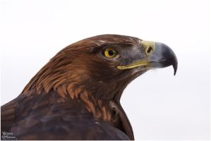 2010-103 Golden Eagle Profile by W0LLE