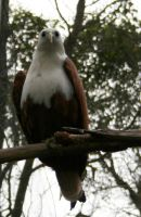 Eagle Pirched 2 by shhhhh-art-Stock