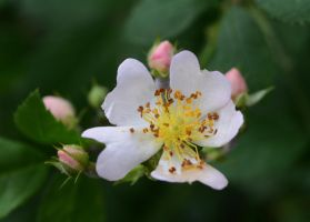 Wild Rose 5-7-13 by Tailgun2009
