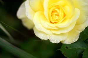 Yellow Rose by lisaclarkedotnet
