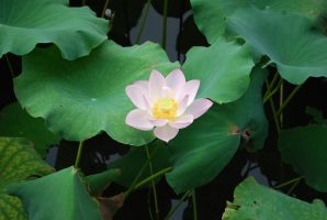 lotus 3.4 by meihua-stock