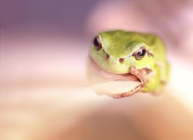 Hyla Arborea by Fotoies