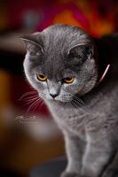 British Shorthair by gk08