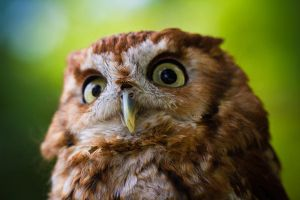 Northern Screech Owl by bovey-photo