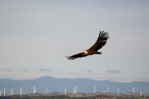 vulture by AndreaP95