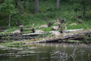A Resting Herd of Elk by MogieG123