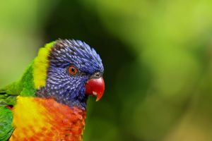 Lorikeet by King-Dolphin